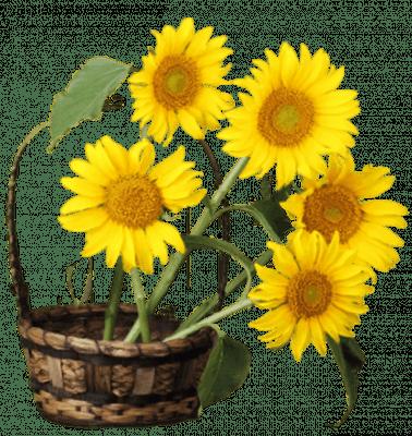 07 Organic Helianthus Annuus Sunflower Seed Oil