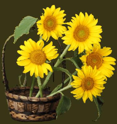 07 Organic Helianthus Annuus Sunflower Seed Oil 378x400 1 1